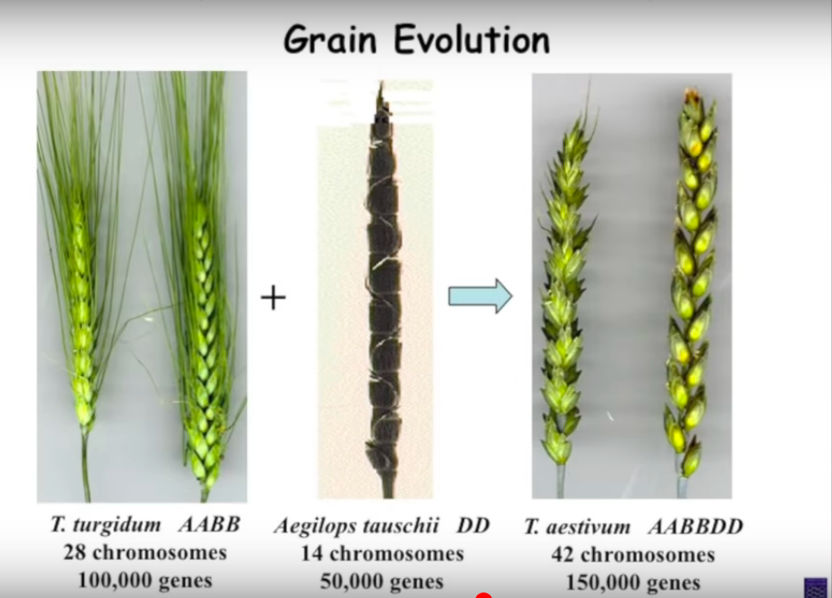 The evolution of grains and impact of gluten on health and gut permeability, leaky gut
